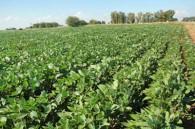Soja: la siembra temprana produce más aceite