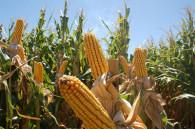 La BCR estimó mayor producción de maíz y trigo