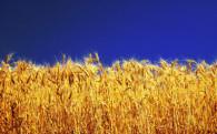 Para el trigo, buenas y malas