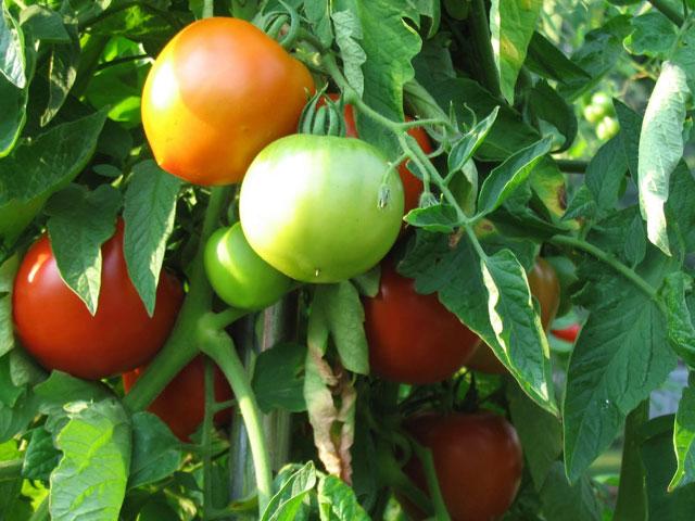 Los tomates de campo contienen más vitamina E