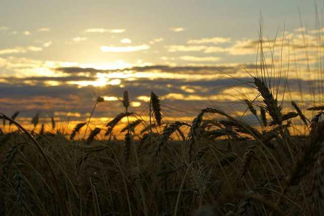 La Bolsa de Cereales disminuyó el área de siembra de trigo a 4,1 M/ha.