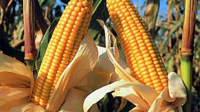 Aún se cosecha maíz y finalizó el sorgo