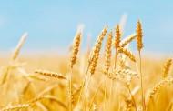 La Rural pronosticó un millón más de hectáreas de trigo