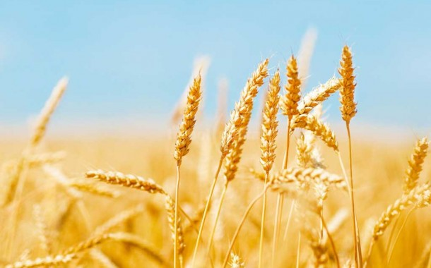 México podría comprar hasta 50.000 toneladas de trigo argentino