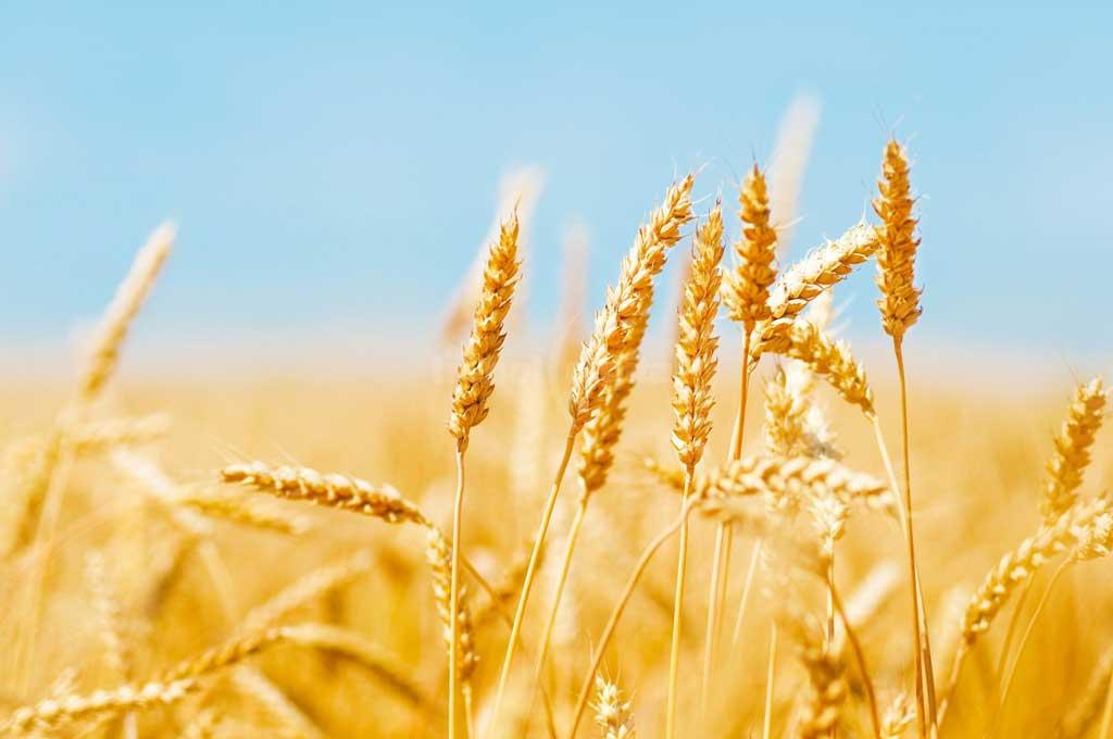 La molienda de trigo cayó casi 10%