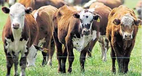 Aumentó la faena de ganado vacuno en casi dos puntos en julio
