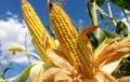 Se cosechó el 22% del maíz con rindes altos