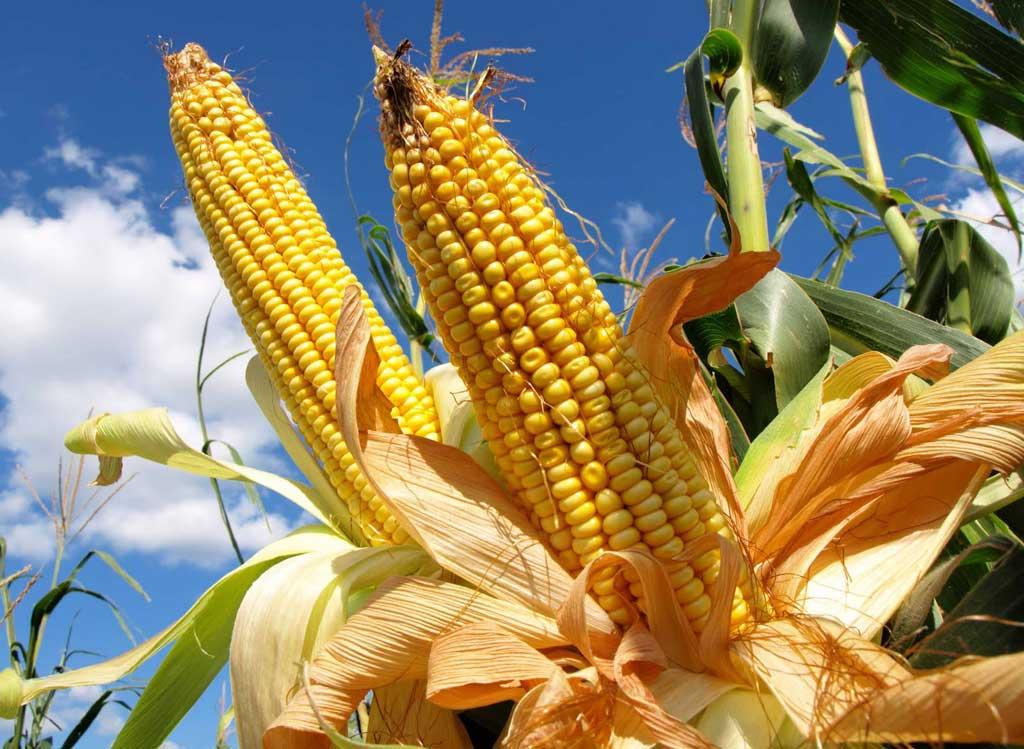 El maíz se negocio con valores en alza