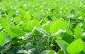 Concluyó la cosecha de soja en 57,7 mill/tn