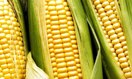El maíz tardío gana protagonismo