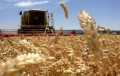 Trigo: la Bolsa de Buenos Aires redujo su estimación de producción