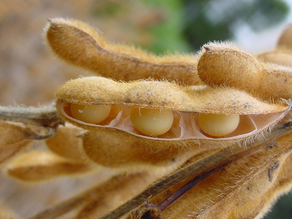 Finalizó la cosecha de soja que se redujo casi 40% por la sequía