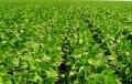 El gobierno se queda con el 64 por ciento de la renta de la soja