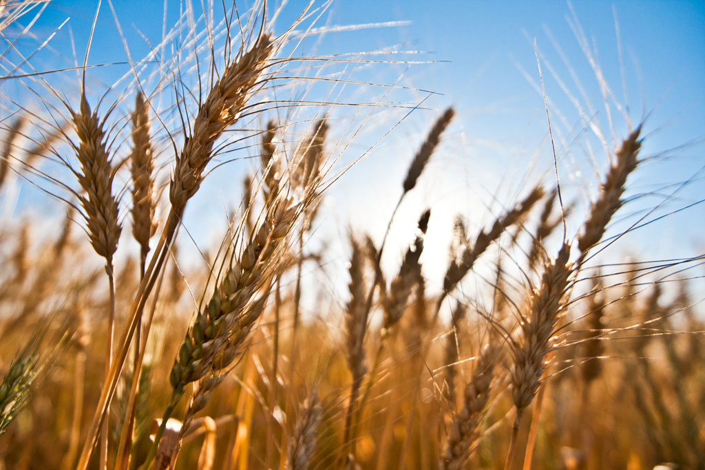 Para el gobierno la cosecha de trigo alcanzó los 18,3 mill/tn