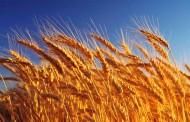 Aumentó 18% el área sembrada con trigo en Buenos Aires