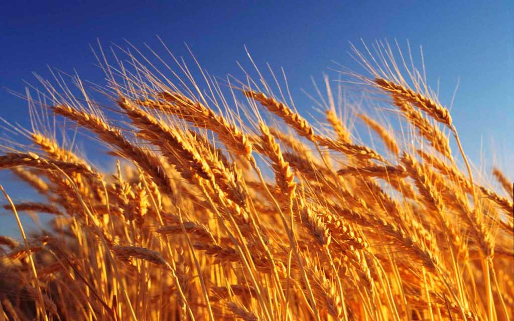 Se sembró el 92% de las más de cinco millones de hectáreas de trigo previstas para esta campaña