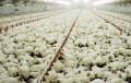 La exportación avícola y porcina superan en conjunto las 230.000 toneladas al año