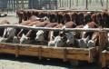 Regulan por ley el funcionamiento de los feedlots