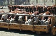 Se recupera el negocio del feed lot