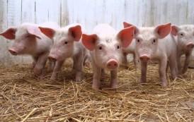 Renuevan apoyo financiero para pequeños productores bovinos y porcinos