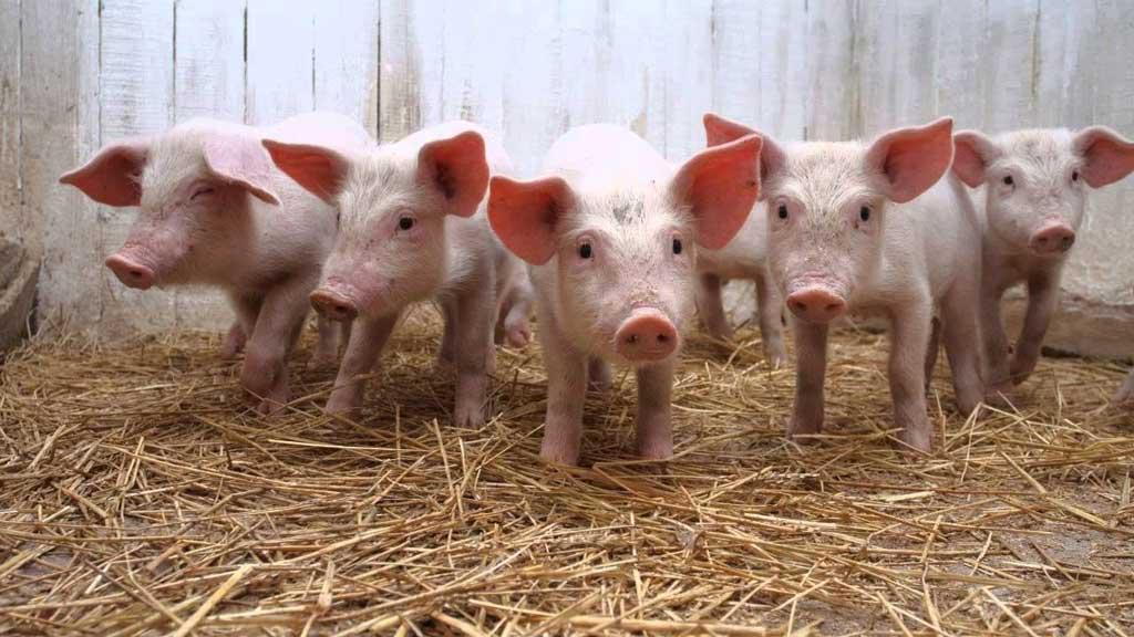 Solicitan medidas urgentes para la producción láctea y porcina de la Provincia