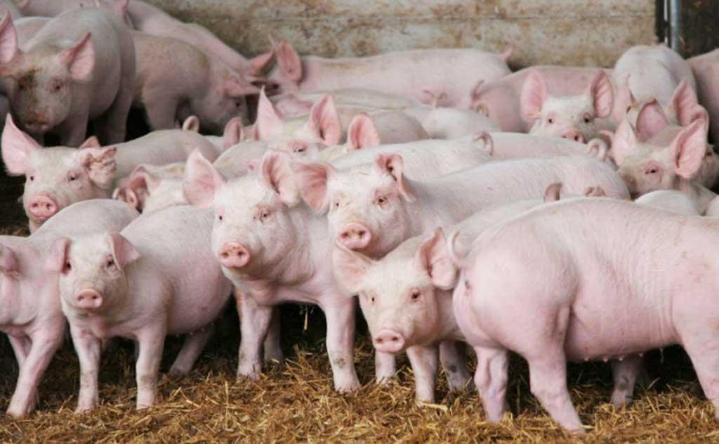 El consumo de carne de cerdo crecerá entre 6% y 8% en 2017