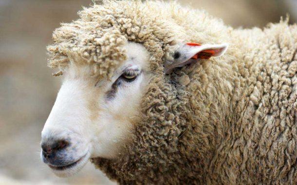 Productores bonaerenses recibirán casi 7 millones de pesos por la ley ovina