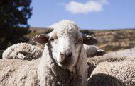 Los productores ovinos bonaerenses tienen 60 días para registrar sus stock