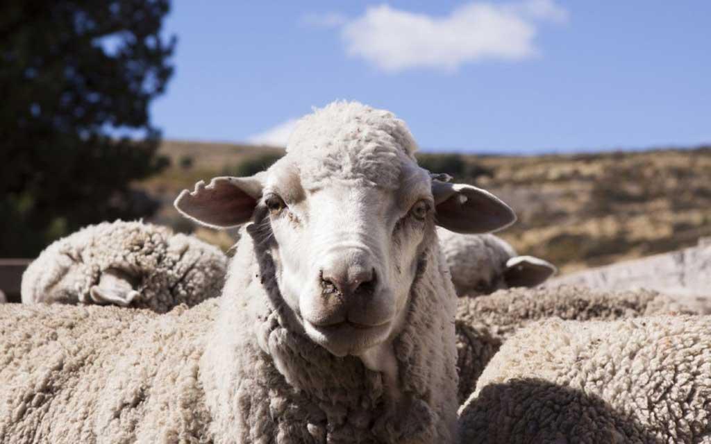 Agroindustria desarrolla proyectos ovinos en 21 municipios | FM Tiempo