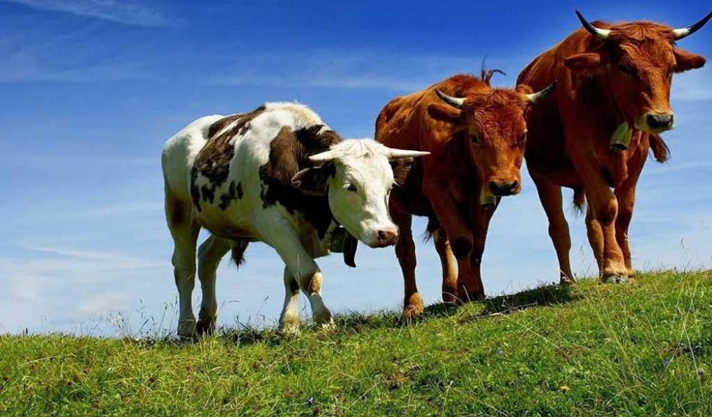 El rodeo bovino bonaerense creció 800.000 cabezas en el último año