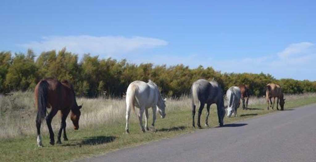 Junín: En seis meses secuestraron 82 caballos sueltos en la vía pública