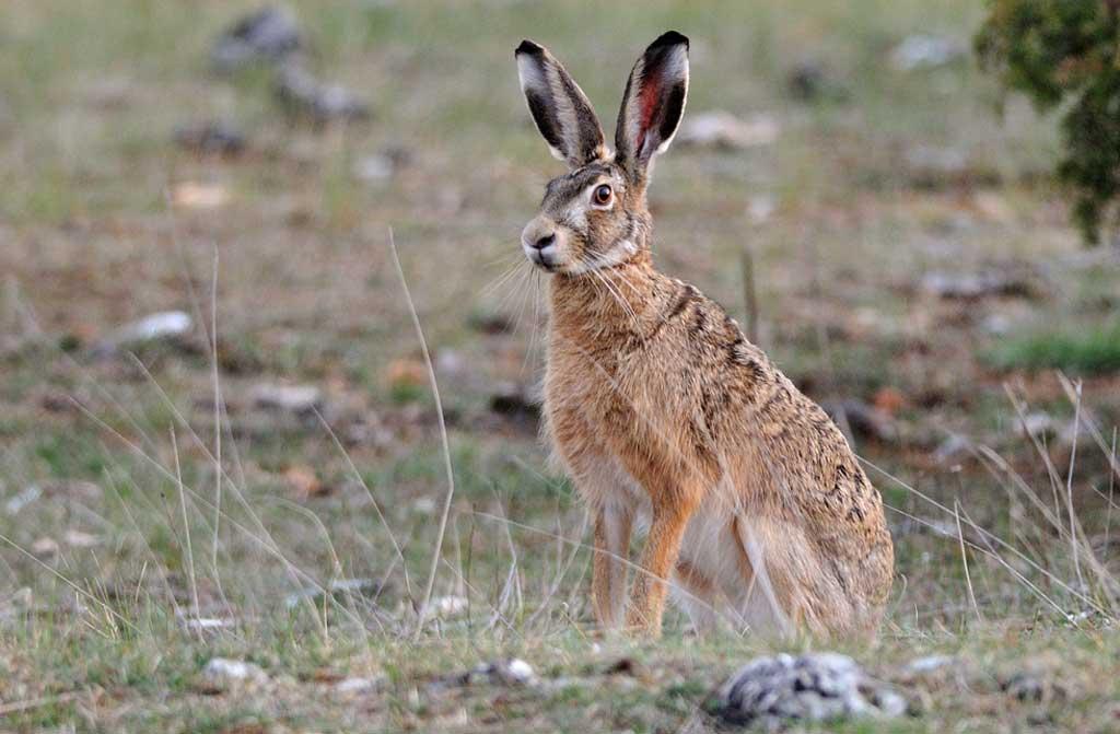 Se habilitó la temporada de caza comercial de liebre europea en Rojas y la provincia