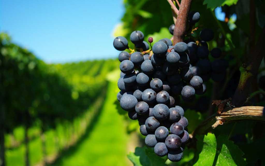 Buscan quintuplicar las hectáreas donde se producen vinos bonaerenses