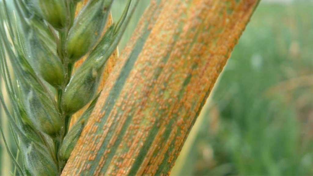 Alerta por primera aparición de roya amarilla en trigos