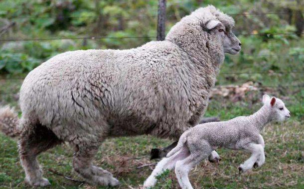 Más de $80 millones en 70 municipios para impulsar la actividad ovina