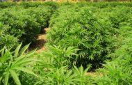 Chacabuco analiza cultivar cannabis con fines medicinales