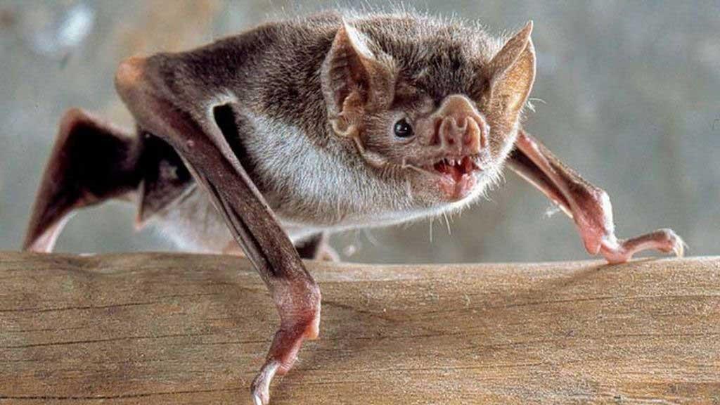 Caso positivo de rabia en un murciélago