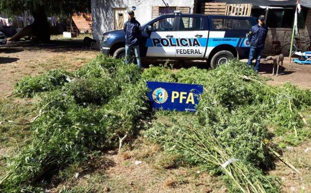 Secuestran 83 plantas y plantines de marihuana
