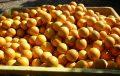 Ante el cambio climático, optimizan recursos para producir naranjas