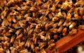 Abejas bonaerenses polinizan cultivos de arándanos en Tucumán
