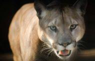 Pumas en la pampa bonaerense
