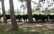 Duplican el forraje para el ganado bajo las forestaciones del Delta