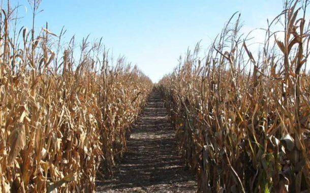 Obtienen compuestos de alto valor económico a partir de residuos de cosecha