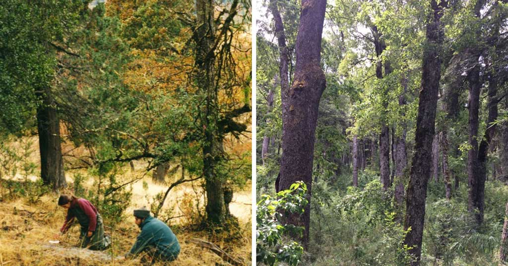 Giro inesperado en la ecología de los bosques patagónicos
