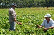 Investigan cómo producir más y mejores batatas en el país