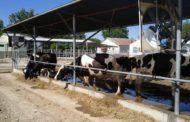 Un alivio para las vacas, con impacto productivo