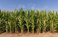 Bayer® presentó su nueva campaña de maíz con importantes beneficios