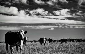 Diez años secos: menos pasto, pero más ganado