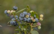 Naike: el primer cultivar de arándano generado por la FAUBA
