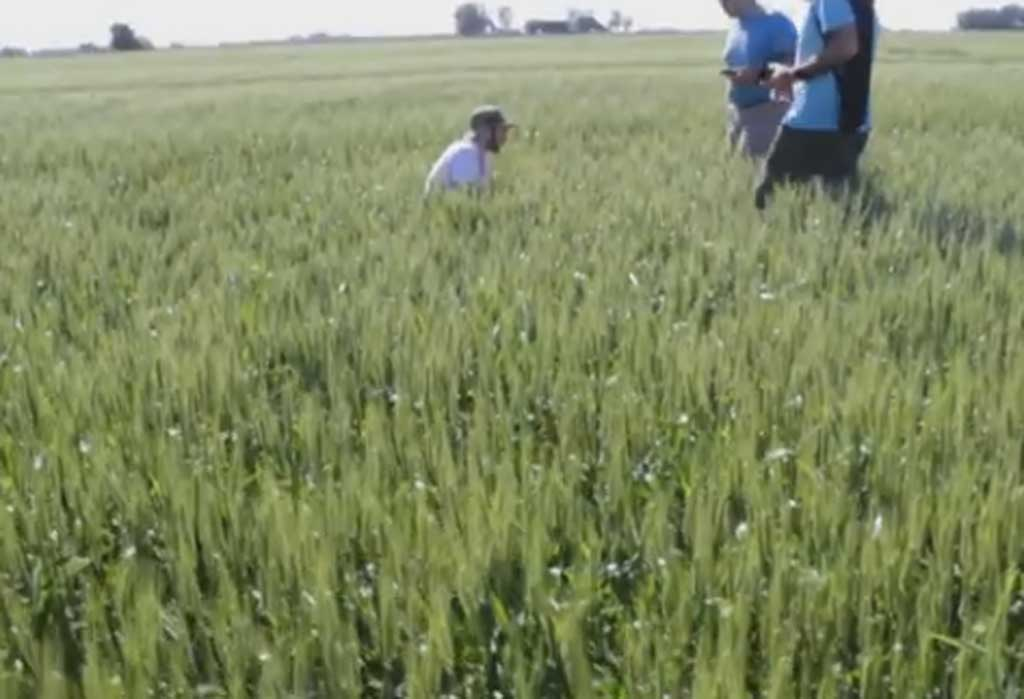 Buenas perspectivas para el trigo en Rojas y la región